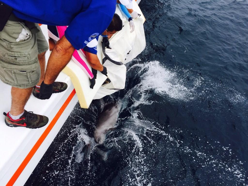 Al momento de reincorporarse. Foto Dolphin Discovery