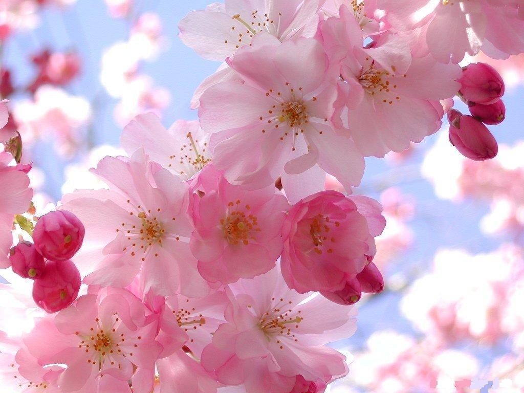 primavera-flores-rosas1